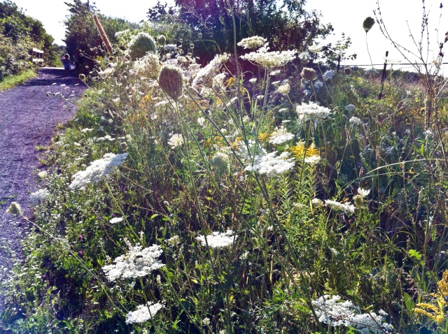autumn, queen anne's lace